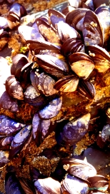 Cornish Mussels I