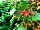 Cornish Stick Insect