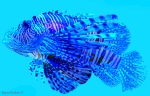 Lionfish in Blue