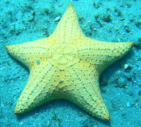 Cushion Star Fish