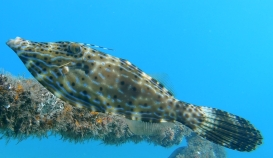 Scrawled File Fish