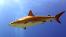 Lone Reef Shark
