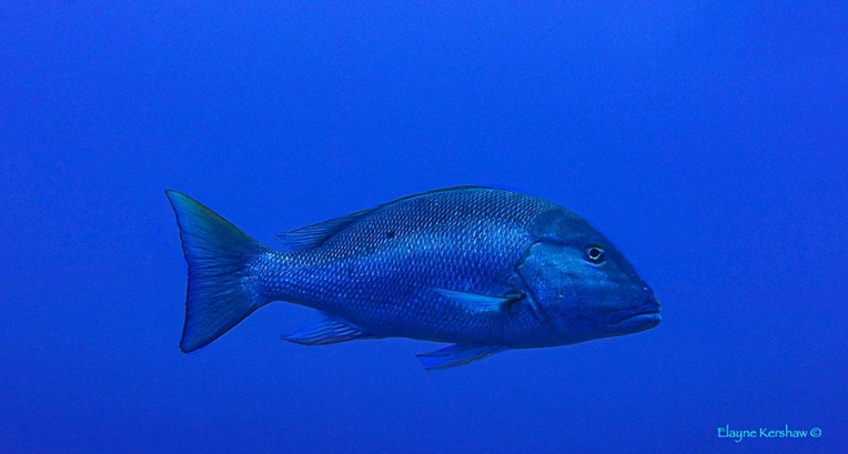 Mutton Snapper in Grand Cayman